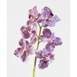 Орхидея Ванда бело-фиолетовая в-57 см, 6цв 12/72