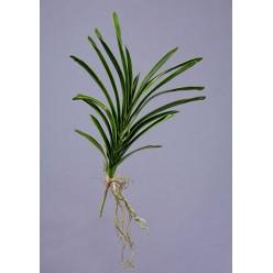 Листья орхидеи Ванды с корнями большие в-50 см 12/192
