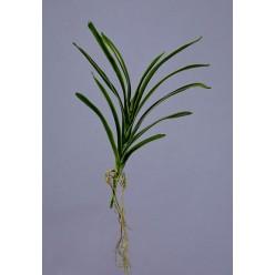 Листья орхидеи Ванды с корнями в-40 см 12/72