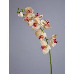 Орхидея Фаленопсис Мидл бледно-золотистая с бордо в-76 см 9цв,3бут 6/36