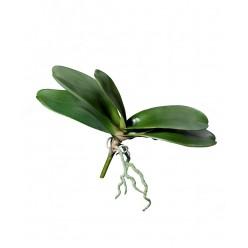Листья Орхидеи Фаленопсис большие в-28 см с корнями (5 листов в-17,ш-36 см) 12/36
