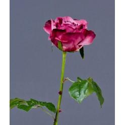 Роза Верди темная фуксия в-58 см бутон в-7,д-10 см 12/72