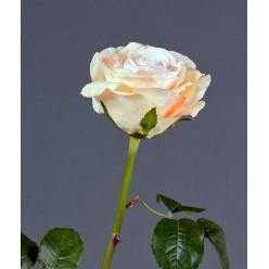 Роза Верди нежно-персиковая с нежно-розовым в-58 см бутон в-7,д-10 см 12/72