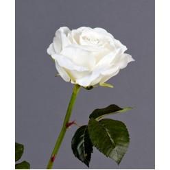 Роза Верди белая в-58 см бутон в-7,д-10 см 12/72