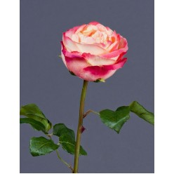 Роза Джема нежно-персиковая с малиновым в-56 см бутон в-7,д-11 см 12/72