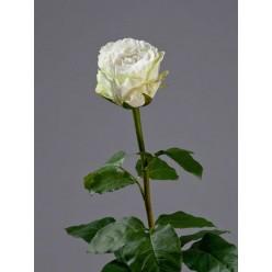 Роза Английская белая в-66 см, бутон в-6,5, д-7 см 6/24