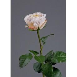 Роза Английская Большая нежно-крем-розовая в-66 см бутон в-6,5, д-9,5 см 6/24