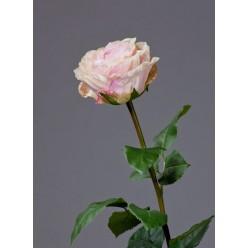 Роза Английская Большая нежно-персиково-розовая в-66 см бутон в-6,5, д-9,5 см 6/24