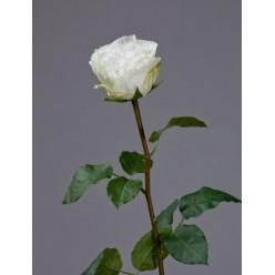 Роза Английская Большая белая в-66 см бутон в-6,5, д-9,5 см 6/24