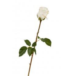 Роза Аква белая с нежно-розовой каймой (бутон - в-8, д- 7 см) в-56 см 12/144
