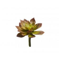 Мини-суккулент Эониум декорум Минор зелено-бордовый в-2, д-5 см 48/576