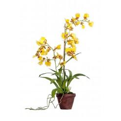Орхидея Дансинг Канарейка в-65 см в терракот.кашпо 2/4