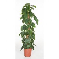 Philodendron Scandens Mosspole    VR-120/DG-24
