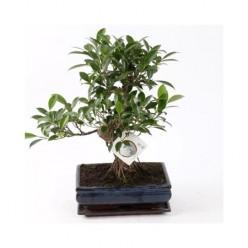 Bonsai Ficus Ginseng S-shape    VR-38/DG-25