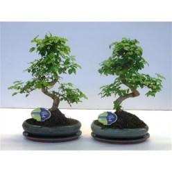 Bonsai Ligustrum Chinensis, With Drip Tray    VR-40/DG-24