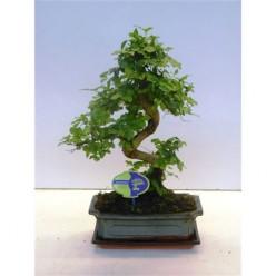 Bonsai Ligustrum Chinensis, With Drip Tray    VR-40/DG-25