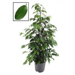 Ficus Be Danielle    VR-105/DG-21