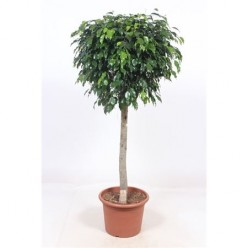 Ficus Be Danielle On Stem (fachjan)