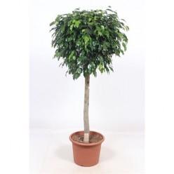 Ficus Be Danielle On Stem (fachjan)
