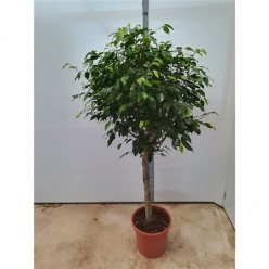 Ficus Be Columnar On Stem    VR-150/DG-31