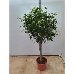 Ficus Be Columnar On Stem    VR-150/DG-31