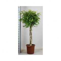 Ficus Be Exotica Twisted    VR-180/DG-40