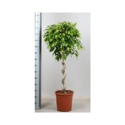Ficus Be Exotica Spiral    VR-140/DG-30