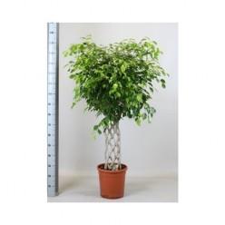 Ficus Be Exotica Mat    VR-150/DG-30