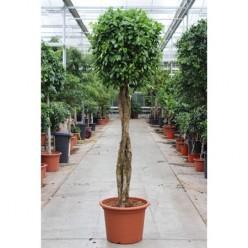 Ficus Be Nitida Twisted Stem (fachjan)    VR-300/DG-60