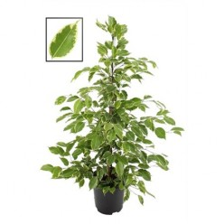 Ficus Be Golden King    VR-105/DG-21