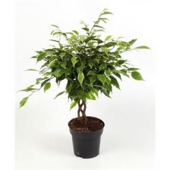 Ficus Be Anastasia Twisted Stem    VR-47/DG-14
