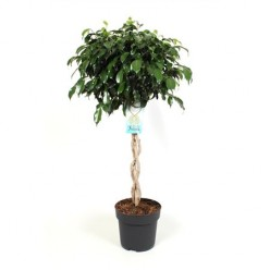 Ficus Be Danielle Twisted    VR-110/DG-24
