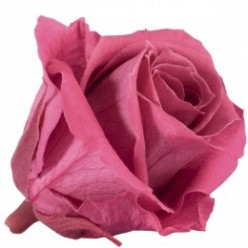 Роза Медеа 8гол. кранбери