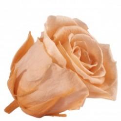 Роза Медеа 8гол. персиковый
