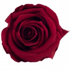 Роза Медеа 8гол. бордовый