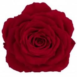 Роза король 1 гол. красный