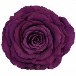 Роза король 1 гол. фиолетовый