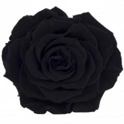 Роза король 1 гол. черный