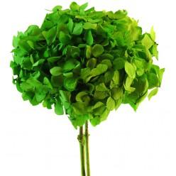 Гортензия зеленый