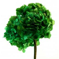 Гортензия зеленый светлый