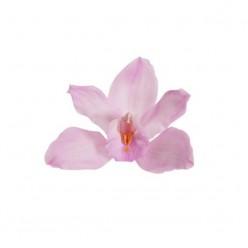 Орхидея Цимбидиум 4 гол. розовый
