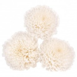 Хризантема фокус белый