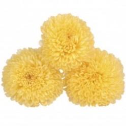 Хризантема фокус желтый