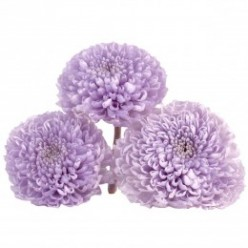 Хризантема фокус лиловый