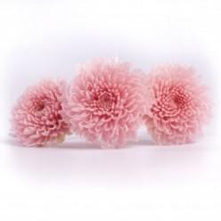 Хризантема фокус светло-розовый