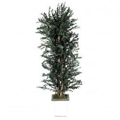 Парвафолия дерево ветвистое