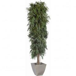 Пендула дерево ветвистое