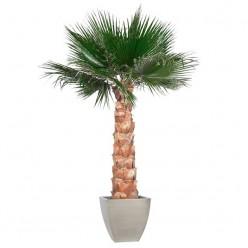 Вашингтония Пальма 190 зеленый