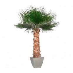 Вашингтония Пальма 240 зеленый в комплекте