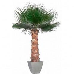 Вашингтония Пальма 350 cm зеленый в комплекте